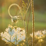 Queen Anne's Lace Sunset Poster