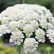 Queen Ann's Lace Poster