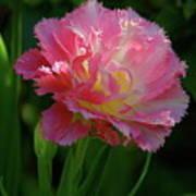 Queensland Tulip Poster