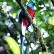 Quetzal In Monteverde Poster