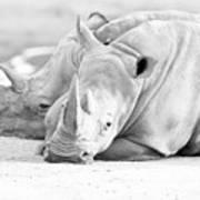 Rhino Quiet Moment Poster