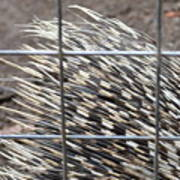 Quills Of An African Porcupine Poster