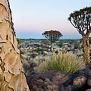 Quiver Tree Aloe Dichotoma, Quiver Tree Poster