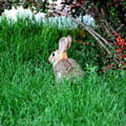 Rabbit Sitting Outdoors. Poster