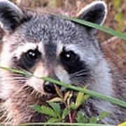 Raccoon 3 Poster