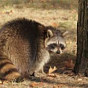 Raccoon #4 Poster