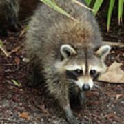Raccoon Bandit Poster