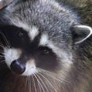 Raccoon Poster