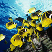 Raccoon Butterflyfish Poster