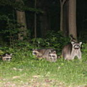 Raccoon Family Poster