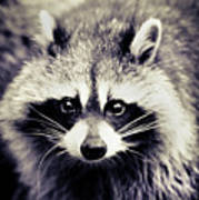 Raccoon Looking At Camera Poster