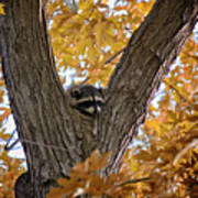 Raccoon Nape Poster