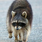 Raccoon On The Prowl Poster