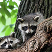 Racoons In Tree Poster