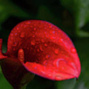 Rain Coated Red Anthurium Poster
