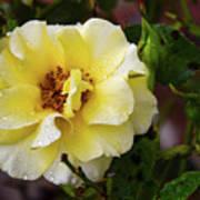 Rain Coated Yellow Rose Poster