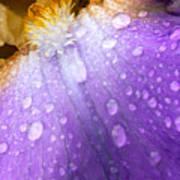 Rain Covered Iris Poster