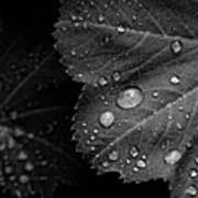 Rain Drops On Leaf Poster