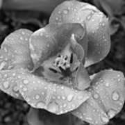 Rain Kissed Rhine Flower Poster