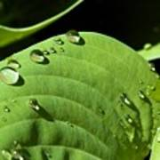 Rain On Leaf Poster
