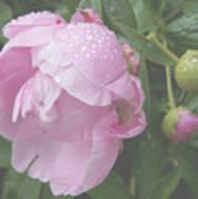Rain On Peony Poster