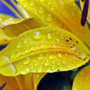 Rain Spotted Yellow Lily I 2009 Poster
