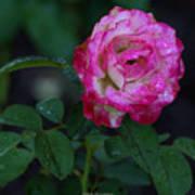 Rain Wet Rose Poster