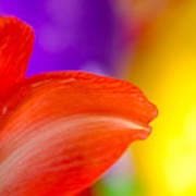 Rainbow Tip Red Amaryllis Petal Tip On A Rainbow Background Poster