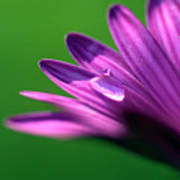 Raindrop On Purple Petal Poster