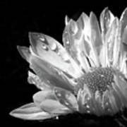 Raindrops On Daisy Black And White Poster