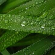 Raindrops On Green Leaves Poster