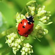 Raindrops On Ladybug Poster