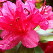 Raindrops Red Azaleas Art Prints Water Drops Azalea Flowers Poster