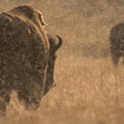 Rainy Bison Poster