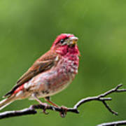 Rainy Day Bird - Purple Finch Poster by Christina Rollo