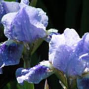 Rainy Irises Poster