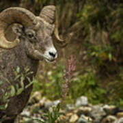 Ram Eating Fireweed Poster