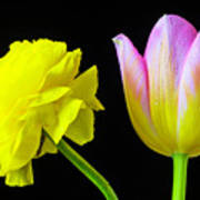 Ranunculus And Tulip Poster