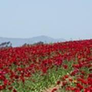 Ranunculus Red Poster
