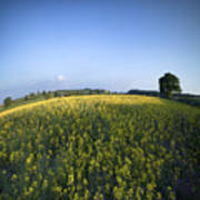 Rapeseed Blossom Poster