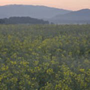 Rapeseed Dawn Poster