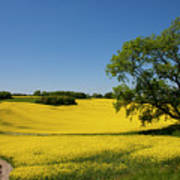Rapeseed Field,west Sussex, England  Poster