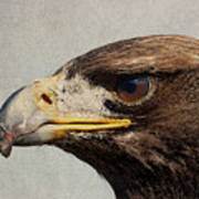 Raptor Wild Bird Of Prey Portrait Closeup Poster