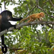 Rare Golden Monkey Poster