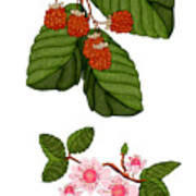 Raspberries And Raspberry Blossoms Poster