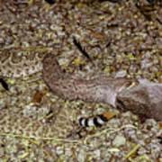 Rattlesnake Devouring Rabbit Poster