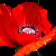 Red Poppy Photograph Poster