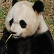 Really Cute Giant Panda Bear With Bamboo Poster