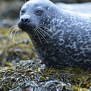 Really Cute Harbor Seal On Seaweed Poster
