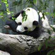 Really Cute Panda Bear Sleeping On A Log Poster